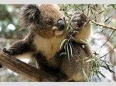Koala Bear – Phascolarctos cinereus   Deography by Dylan O ... Koalas Habitat And Diet