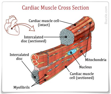 muscle cross section cardiac muscle structure