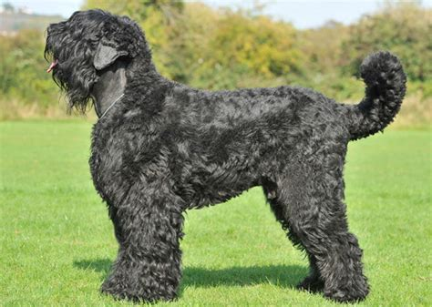 large russian breeds 13 largest breeds towering and commanding
