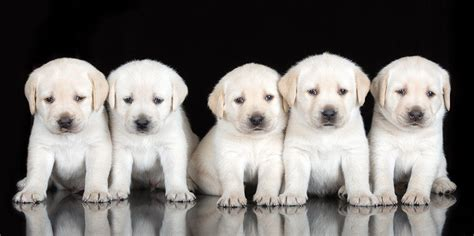 how to keep a golden puppy away from the xmas tree inbreeding dogs the about purebred puppies the happy puppy site
