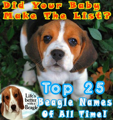 beagle puppy names beagle puppies are dangerously adorable beagle mania