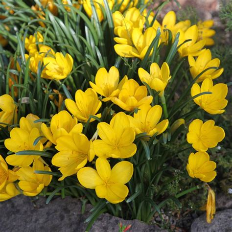 buy autumn daffodil bulbs sternbergia lutea