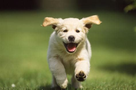 puppies running golden retriever puppy running towards photographic print at allposters