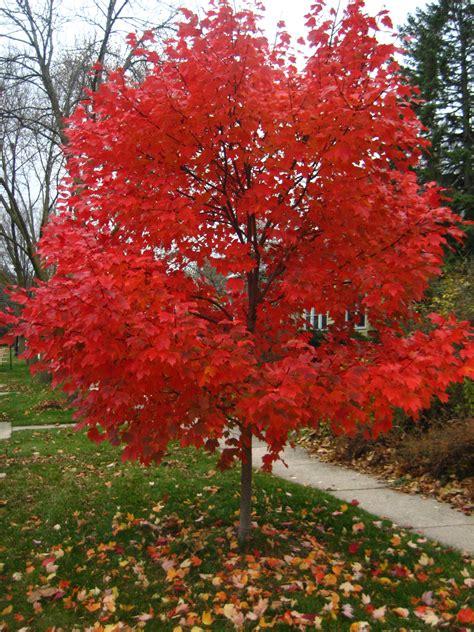 maple tree vs autumn blaze loss memory things gilbert italian handful