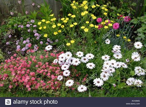 Cottage Garden Flower Bed With White Osteospermum England White Cottage Garden Flowers