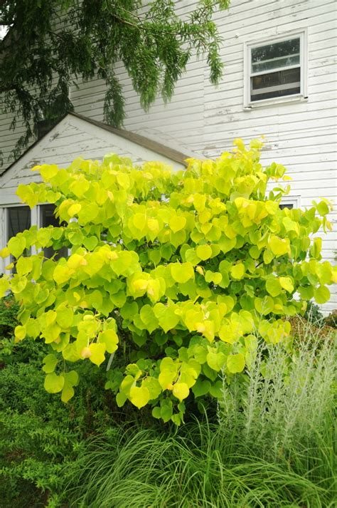 hearts of gold redbud cercis canadensis hearts of gold wholesale