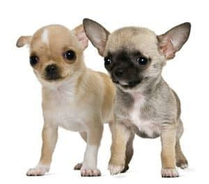hypoglycemia puppy hypoglycemia in dogs chihuahua tips