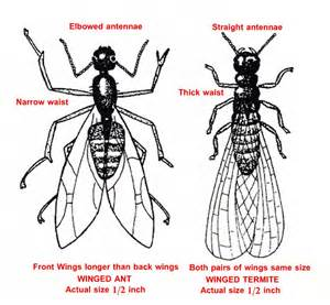 Flying ants vs termites back to home page
