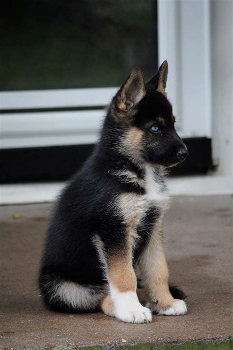 german shepherd mixed with husky 25 best ideas about german shepherd husky on