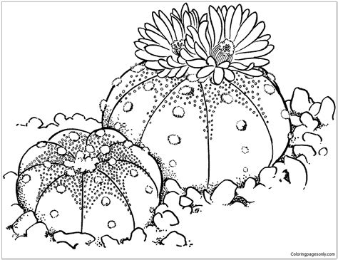 coloring page sand dollar astrophytum asterias or sand dollar cactus coloring page
