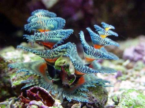 invertebrate spotlight christmas tree worms the drop in