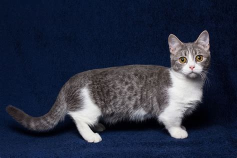 Vets warn trend for sausage shaped munchkin cats is cruel