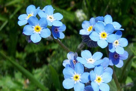 imagenes flores no me olvides felizdiafeliz las flores de la amistad