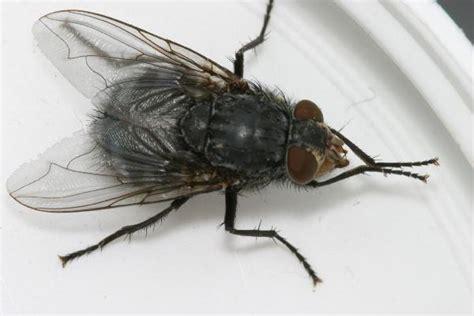 flies in the backyard large flies gallery