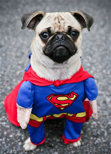pug rescue kent image gallery pugs