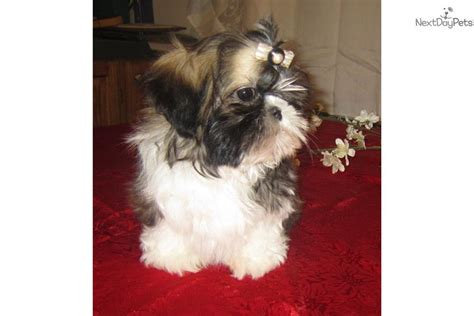 shih tzu breeders in tennessee shih tzu puppy for sale near nashville tennessee 40d0560d 0571