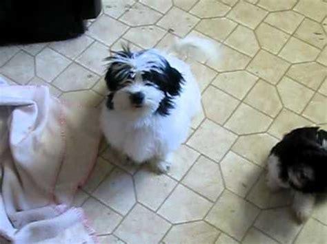 havanese breeders tennessee havanese puppies breeder tn nc ky va fl ga al