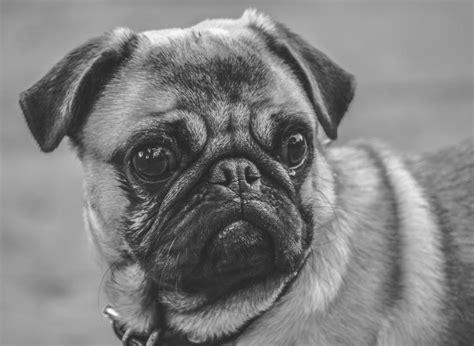 imagenes a blanco y negro de perros imagen de pug carlino foto gratis