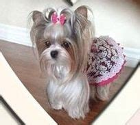 teacup yorkie orlando fl best 25 yorkie dogs for sale ideas on teacup yorkies for sale yorkies