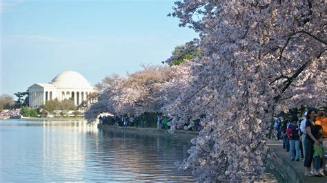 national cherry blossom festival high resolution images national cherry blossom festival