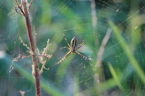 Garden Spider Lives Who Lives In My Pasture S