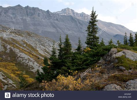 alpine trees alpine vegetation alpine fir trees rocky mountains