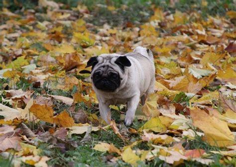 pug in leaves pug wallpaper screensaver background pug autumn leaves pug wallpaper screensavers