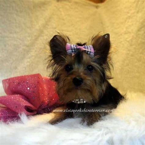 buy teacup yorkie puppy hellen teacup puppy elvis terrier