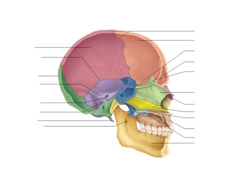 midsagittal section of the skull axial skeleton skull midsagittal section