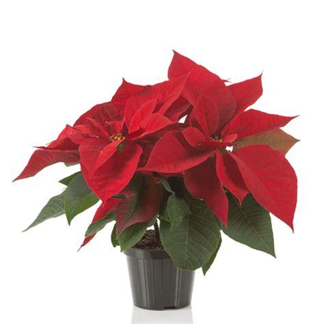 stelle di natale fiori poinsettia stella di natale fiori e piante ornamentali