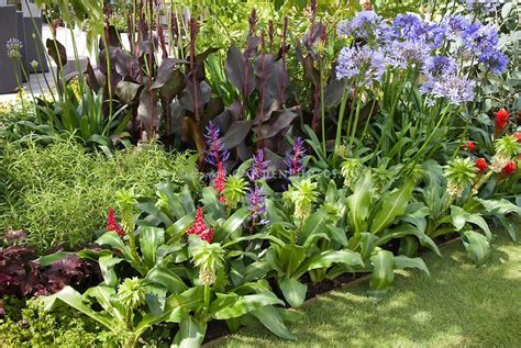 Tropical Flower Garden Eucomis Bicolor With Tropical Flowers With Agapanthus And Purple Leaf Foliage Canna In Tropical