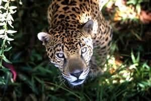 Jaguar Ecosystem On World Cat Day Three Roars For The Jaguar Human