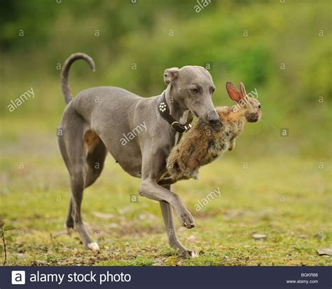 rabbit dogs whippet dogs rabbits stock photo royalty free image 27480216 alamy