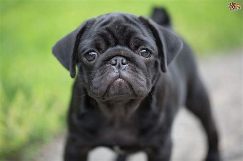 a pug as a pet five universal personality traits of the pug pets4homes