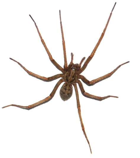 giant house spider how to tell if you have hobo spiders new leaf pest control