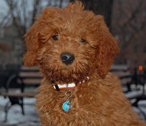 mini doodle puppies for sale mini goldendoodle puppies for sale