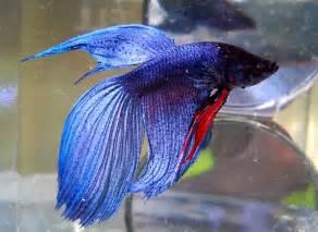 betta fish colors fish blue fish the freshman fish tank