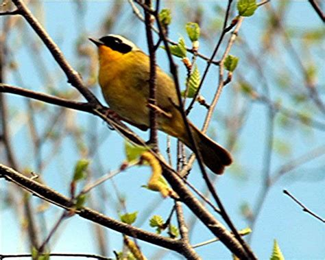 ranger bird its real name is a common yellowthroat which is