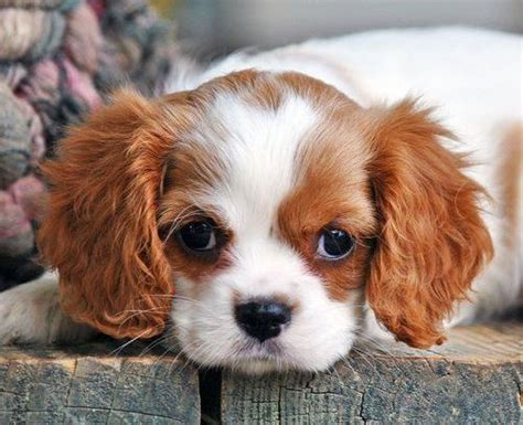 teacup cavalier king charles spaniel puppies for sale teacup cavalier king charles puppies cavalier king charles spaniel puppies for sale