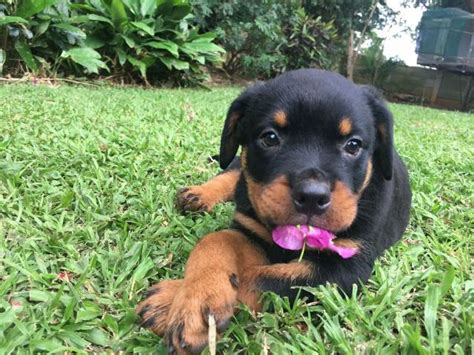 rottweiler purebred puppies for sale rottweiler puppies for sale coast puppies for sale