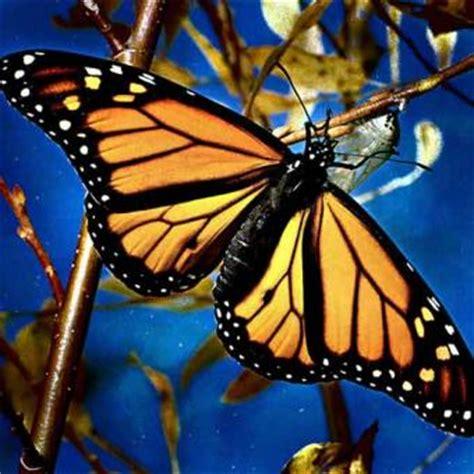 imagenes de mariposas juntas informaci 243 n sobre las mariposas informacion sobre animales