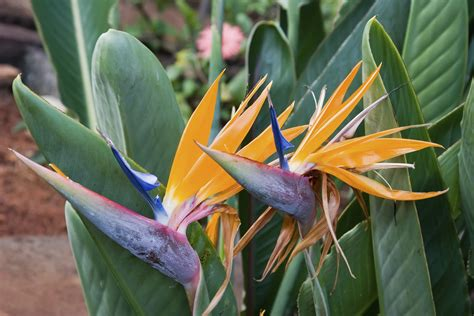 growing bird of paradise outside how to take care of