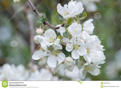 albero con fiori bianchi fiori bianchi frutto gpsreviewspot
