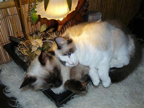 Ragdoll Cat Shedding by Ragdoll Cats Wiki