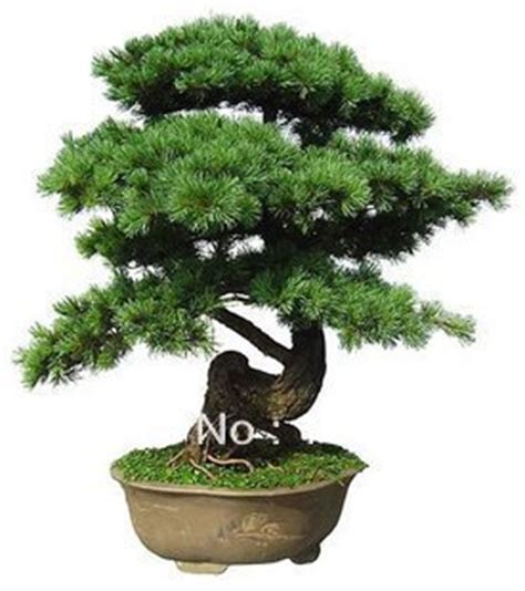 indoor japanese plants free shipping 30pcs pack japanese five leaved pine bonsai