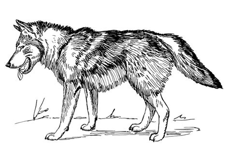 Gray Wolf Kids Review Ebooks Grey Wolf Coloring Pages
