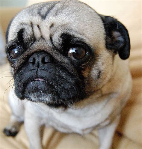 sad pug puppy sad pug flickr photo