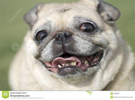 fawn colour pug happy pug fawn color stock image image of teeth bite 2364801