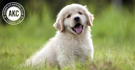 golden retriever health facts 25 facts american kennel club autos post