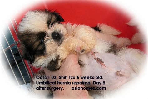 how big is a shih tzu stomach 0829asingapore veterinary education stories large umbilical hernia requires veterinary